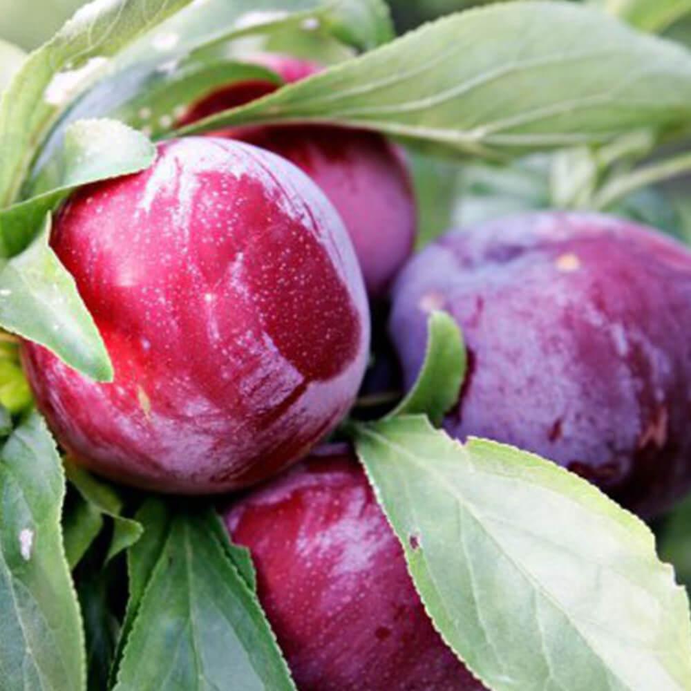 Early Queen Erik – Bonda Tarım MERSİN | Toptan Sebze Meyve